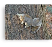 Gray Squirrel (Sciurus carolinensis) Canvas Print