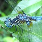 blue dragonfly by SusieG