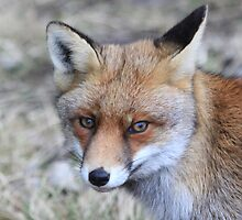 Fox - 1286 by DutchLumix