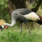 Honolulu Zoo: The Grey Crowned Crane  by Kezzarama