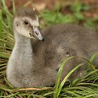 Honolulu Zoo: The Gosling by Kezzarama
