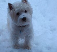 Winter White - West Highland White Terrier by MarianBendeth