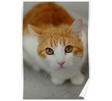 Softy Cat Poster