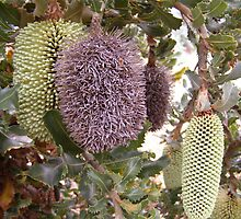 Three stages of the Banksia Caleyi flower. by Rita Blom