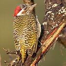 Bearded Woodpecker by Michael  Moss