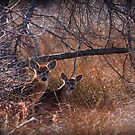 Whitetails In The Thicket by Joe Elliott