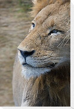 Lion Profile by Michael  Moss