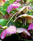 Hellebores in the Rain by Julie Sleeman