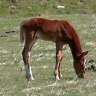 Wild Foal by AnnDixon