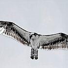 Osprey Art by Deborah  Benoit