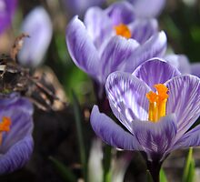 Purple Glory - Purple Crocuses by Hilda Rytteke