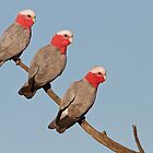 Galah - The Three Amigos by Simon Bennett