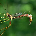 Ichnuemondae Ichneumon by withacanon