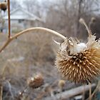 Dead Sunflower by kersey