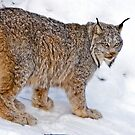 Lynx 2 by Sue Ratcliffe
