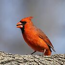 Male Cardinal by Gregg Williams