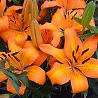 Orange Lillies by PollyBrown