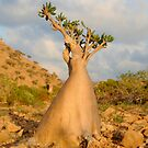 Socotra Desert Rose by George Kashouh