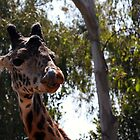 Giraffe at San Diego Zoo by Sherry Durkin