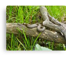 Northern Water Snake (Nerodia sipedon) Canvas Print