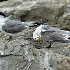 Crested terns by Dennis Wetherley