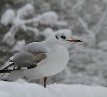 Seagull, warming it the leg in the cold snow by JF Gasser