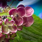 Pink Hydrangea by BoB Davis
