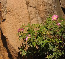 Rocks and Roses by Anne Smyth