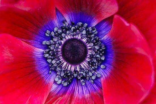 Red and Blue Poppy by Oscar Gutierrez