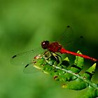 Red Dragonfly by Diane Blastorah