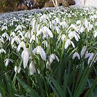 Snowdrops at Damerham (UK) by hootonles