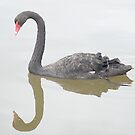 Black Swan swimming - Newport Lakes by MIchelle Thompson