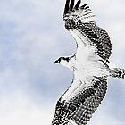 Soaring Osprey Art by Deborah  Benoit