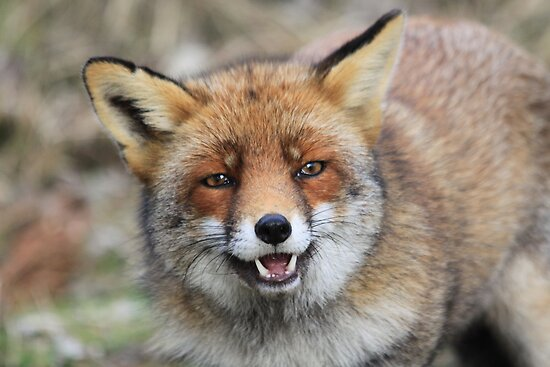 Red Fox - 1649 by DutchLumix