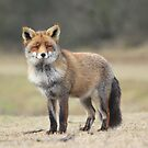Red Fox - 1684 by DutchLumix