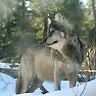 Wolf in the sunlight by starbucksgirl26