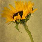sunflower by KathleenRinker