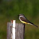Western Kingbird by flyfish70