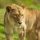 Lioness by Paul Moore