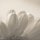 Gerbera by Justine Gordon
