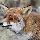 Red Fox - 1657 by DutchLumix