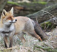 Red Fox - 1585 by DutchLumix