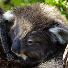 Koala on the roadside by Karen Stackpole