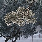 Frosted pinetrees by Bluesrose