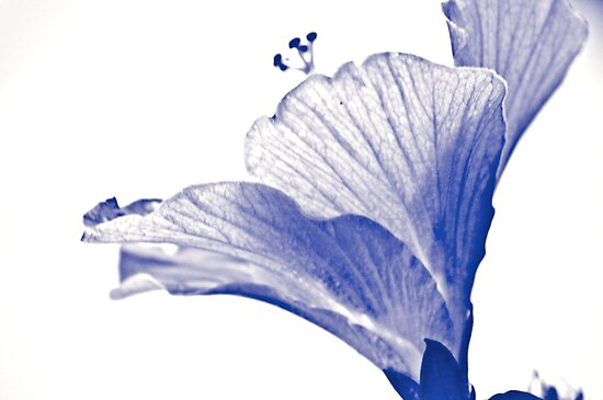 Mono blue Hibiscus in my garden:)...Got Featured Work by Kornrawiee