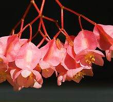 Pink Begonia Angel Wing Flowers by Beatriz  Cruz