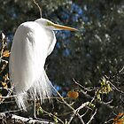 Great White Egret  by Kimberly P-Chadwick