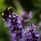 Bee and Lavender by AnnDixon