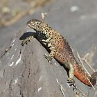 Galapagos Lava Lizard by Paul Duckett