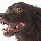 Boykin Spaniel by Jane Best